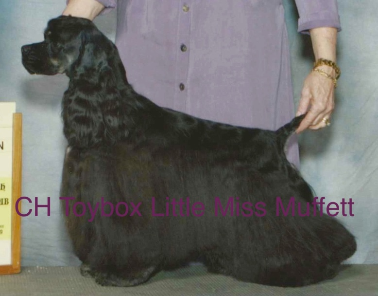 Muffit is in whelp to GCh. Toybox Double Dutch for July ASC futurity puppies.