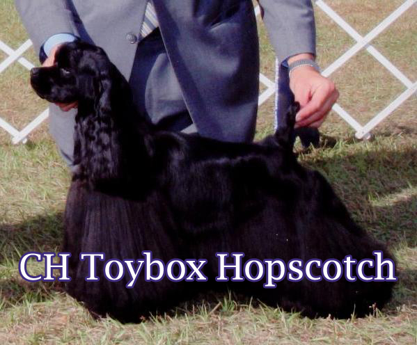 My favorite girl and a treasured house pet, she is the dam of Ch. Toybox Lindy Hop!