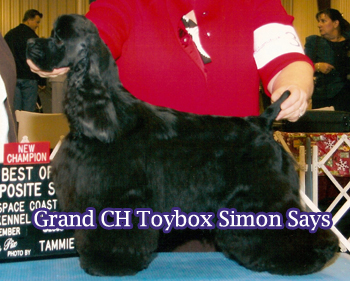GCh. Toybox Simon Says -Currently the sire of four champions!