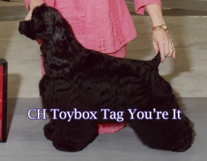 CH Toybox Tag You're It - Now retired and our housedog! Sire of 16 Champions!!!